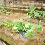 ぴのきお菜園